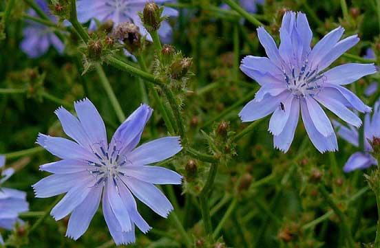 польза цикория для волос, фото цветков