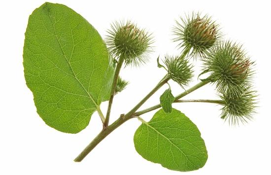 лопух для волос, листья лопуха