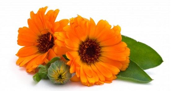 календула для волос, цветы ноготки, цветы календулы для волос