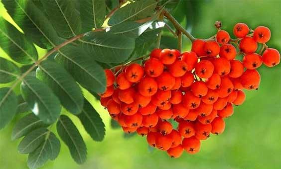 рябина для волос, плоды, листья, фото
