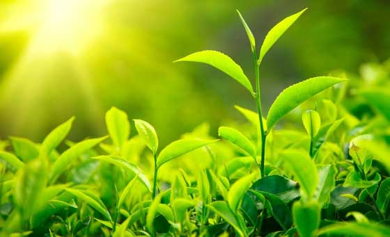 зеленый чай для волос в домашних условиях, польза