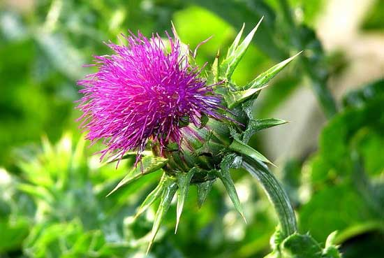 польза травы расторопша для волос