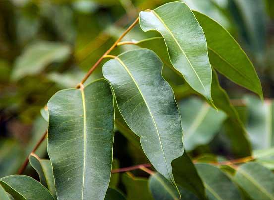 польза эвкалипта, листья, дерево