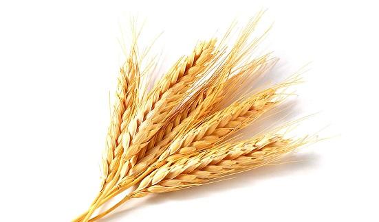 применение пшеницы для волос